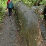 A long tree