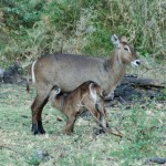 Nursing waterbuck