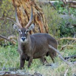 Father waterbuck