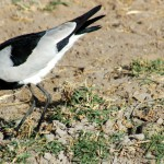 Blacksmith Plover and eggs