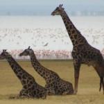 Resting giraffes