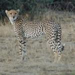 More cheetah
