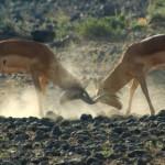 Fighting impalas