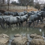 Shawnee trail cattle drive